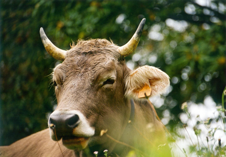Bildergebnis für Kühe mit Hörnern