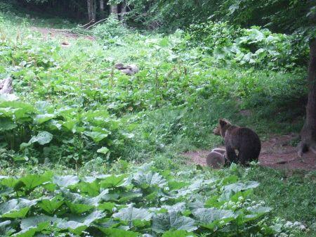 Bär inspiziert Futtertrog