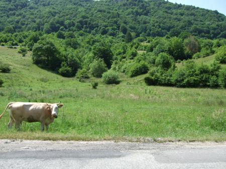 Kuh an der Strasse