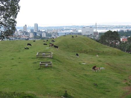 Kühe vor Auckland