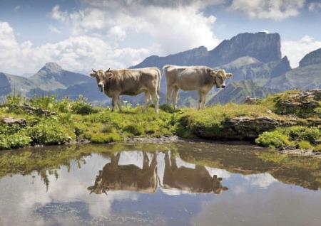 Spiegelnde Kühe