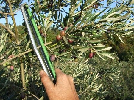 Oliven1