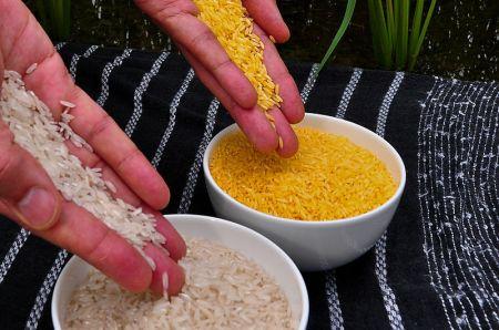 Normaler Rice und Golden Rice mit erhöhtem Vitamin-A-Anteil