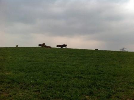 Frühlingskühe am Horizont