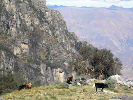 Kühe Peru2