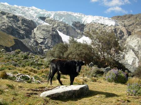 Kuh in Peru