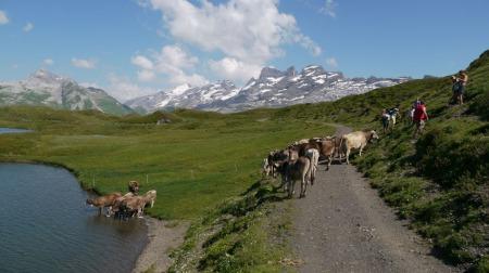 Kühe am und im Tannensee