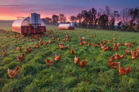 12-chickens-provide-fertilizer-670