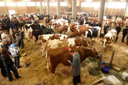 Viehschau Langnau klein