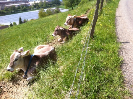 Jungrinder in Neftenbach