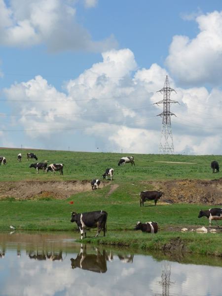 Rumänische Kühe2